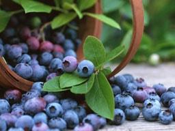 Wild Bilberry